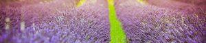 lavender bouquets for sale