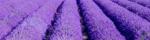 dried lavender for sale