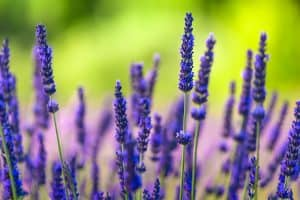 Close up of blooming lavender on a field in Provence. Shallow depth of field.