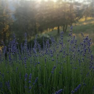 dried lavender blossoms for sale