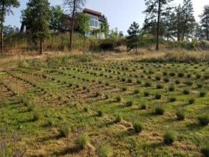 lavender field kelowna