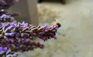 lavender farm in Kelowna