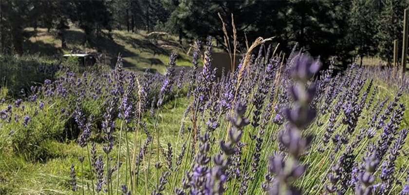 Dried Lavender for Sale,Dried Lavender,Where to Buy Dried Lavender