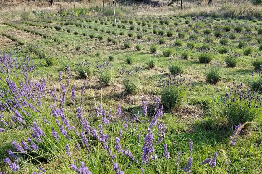 How To Prune And Harvest Lavender