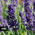 blue spear live lavender plants