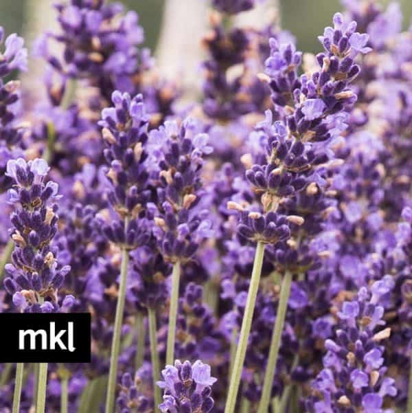 e-hidcote-blue-lavender-mkl-large