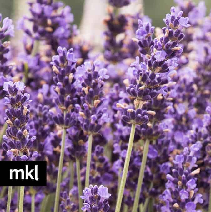 hidcote blue lavender flowers