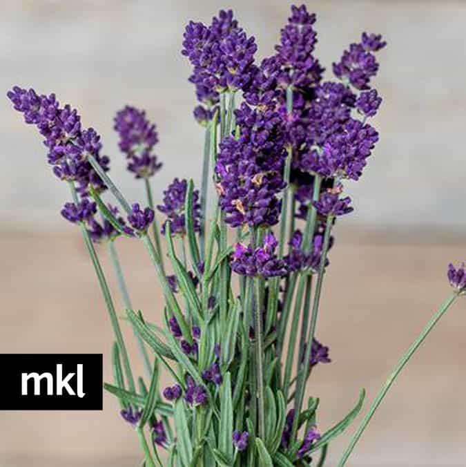 lavance deep purple live lavender plants