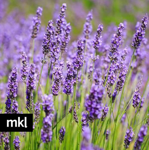 e-super-blue-lavender-mkl-large