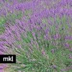 Phenomenal live Lavender Plants