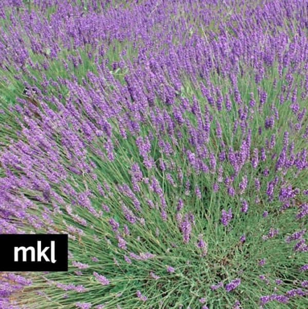 f-phenomenal-lavender-mkl-large