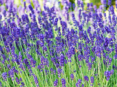 wholesale dried lavender,dried Lavender for Sale,dried lavender bunches