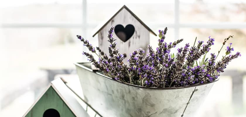 lavender for healing purposes