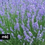 gtosso dried lavender bundles