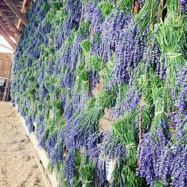 folgate lavender bundles