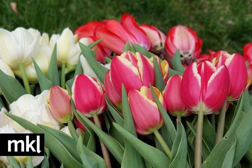 tulips for sale Kelowna