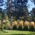 dried grasses ornamental