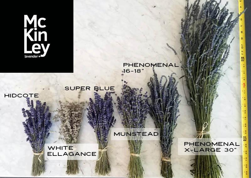 dried lavender varieties